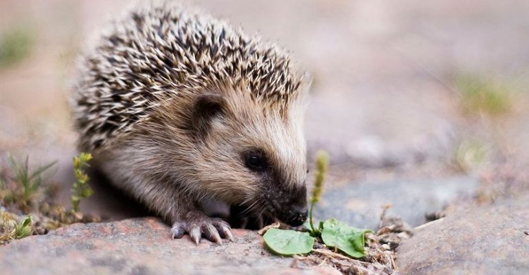 Unknown things about the hedgehog and its habitat