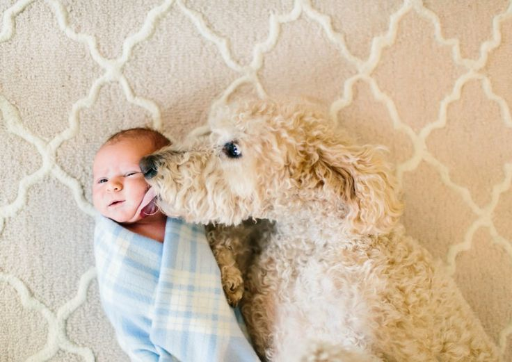 goldendoodle puppies for sale in florida