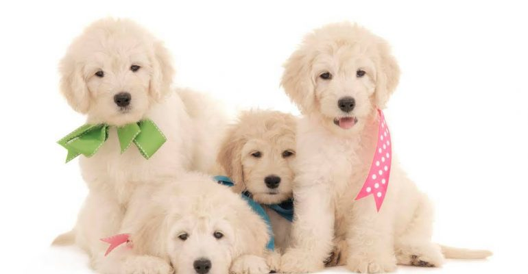 Things to know about goldendoodle