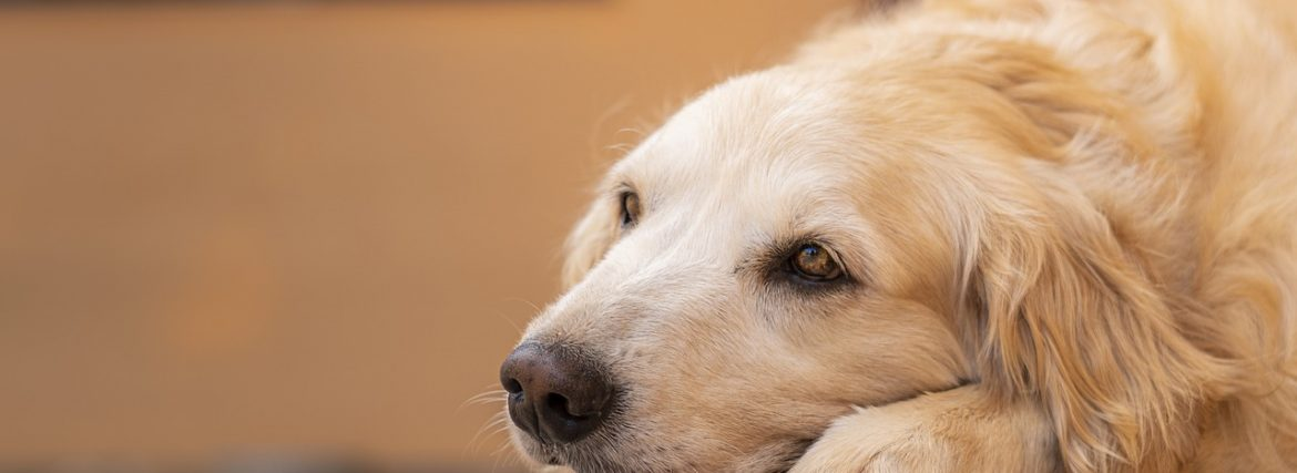 4 Ways to Ensure Your Senior Dog Stays Healthy and Happy During Lockdown