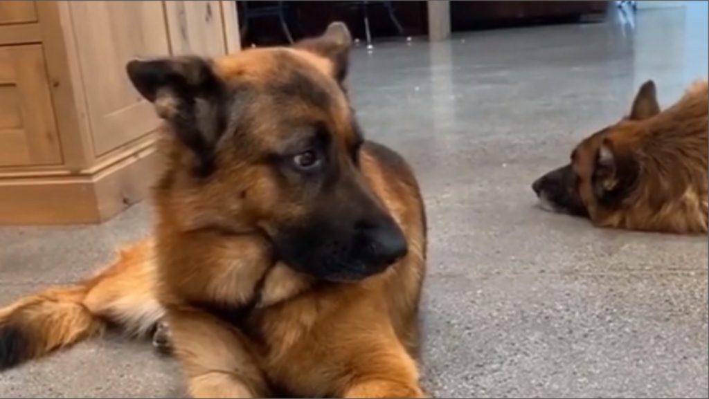 champion breed German shepherd puppies