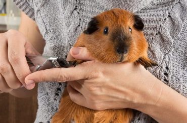 Is it possible to train your Guinea Pig – 6Tips