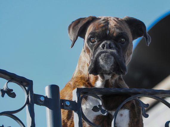 Can a Guard Dog Be Friendly?