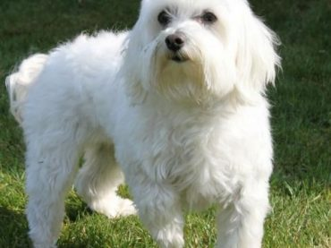 Maltese Dog Breeds – Facts and Personality Traits