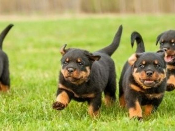 Rottweiler puppies, things you should consider before buying