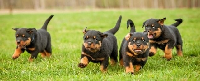 Rottweilers are actually gentle giants